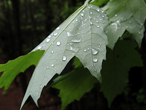 Water droplets on leaf at Hanging Rock State Park