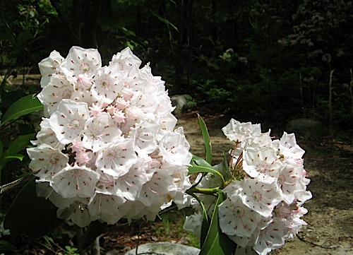 Mountain Laurel along the trail at Hanging Rock