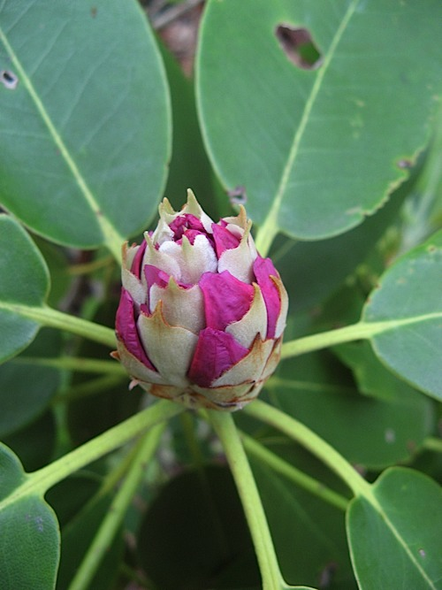 Rhododendron bud at Hanging Rock State Park