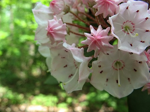 Mountain Laurel buds and blooms at Hanging Rock State Park