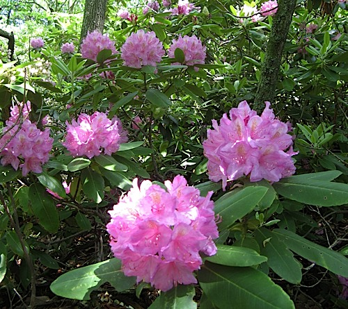 Bunch of Rhododendron in bloom at Hanging Rock State Park