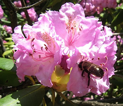 Bee on a rhododendron