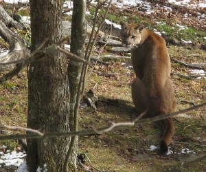 Mountain Lion at Grandfather Mountain