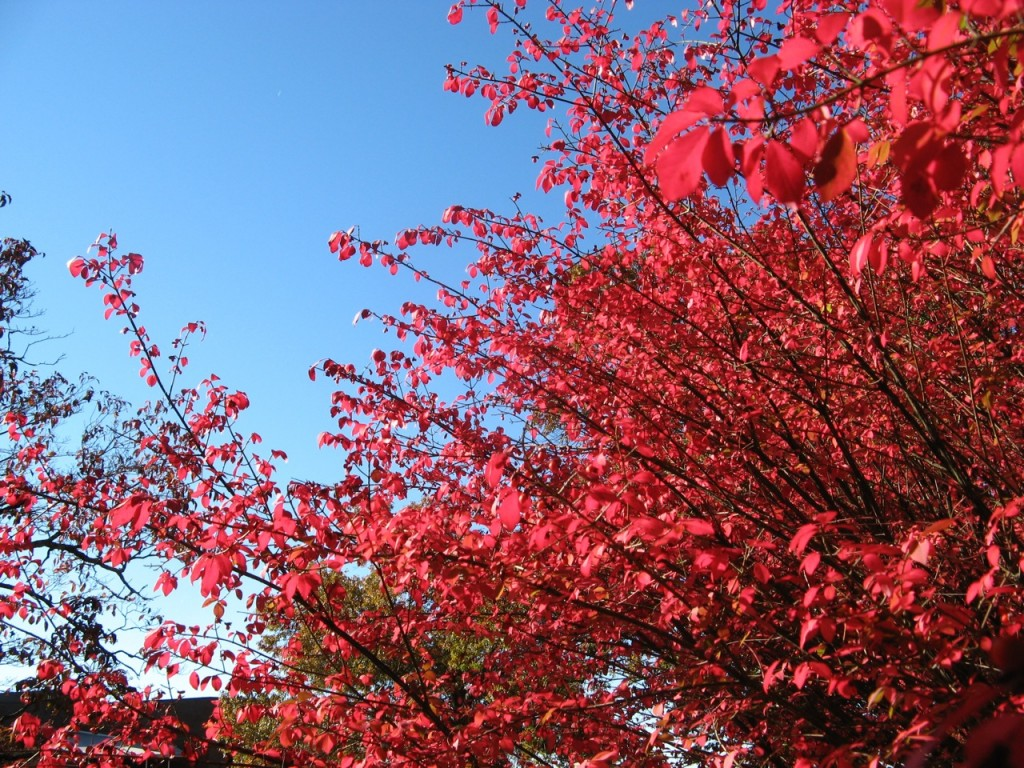 This is a bush that turns flaming red in the autumn